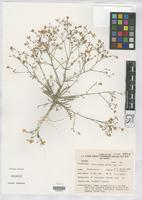 Isotype of Gilia nyensis Reveal, J.L. 1969 [family POLEMONIACEAE]