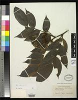 Holotype of Inga recordii Britton, N.L. & Rose, J.N. 1926 [family FABACEAE]