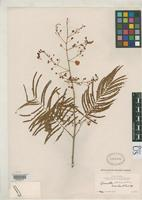 Holotype of Acaciella velutina Britton, N.L. & Rose, J.N. 1928 [family FABACEAE]