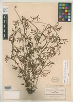 Holotype of Neptunia microcarpa Rose, J.N. 1905 [family FABACEAE]