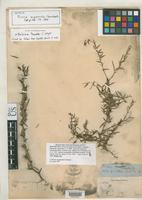 Isotype of Pictetia angustifolia Grisebach, A.H.R. 1866 [family FABACEAE]