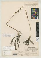 Isotype of Deiregyne confusa Garay, L.A. 1982 [family ORCHIDACEAE]