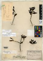 Isotype of Stenogyne angustifolia var. hillebrandii Sherff, E.E. 1934 [family LAMIACEAE]
