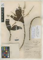 Holotype of Panopsis costaricensis Standley, P.C. 1927 [family PROTEACEAE]