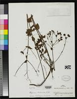 Holotype of Hypericum subliberum Smith, L.B. 1958 [family CLUSIACEAE]