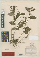 Isotype of Tradescantia macropoda Greenman, J.M. 1897 [family COMMELINACEAE]