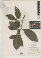 Isotype of Ficus bartlettii Merrill, E.D. 1934 [family MORACEAE]