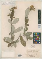 Holotype of Cracca diversifolia Rose, J.N. 1909 [family FABACEAE]