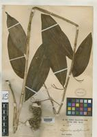 Isotype of Polygonatum henryi Diels, F.L.E. 1900 [family LILIACEAE]