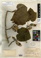 Filed as Hibiscadelphus giffardianus Rock, J.F. 1911 [family MALVACEAE]