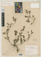 Isotype of Abronia acutalata Standley, P.C. 1909 [family NYCTAGINACEAE]