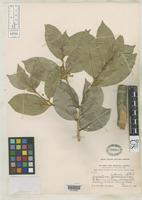 Isotype of Cyclostemon littoralis Robinson, C.B. 1908 [family EUPHORBIACEAE]
