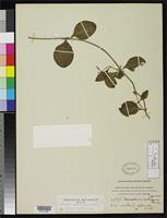 Filed as Marsdenia inelegans Rusby, H.H. 1920 [family ASCLEPIADACEAE]