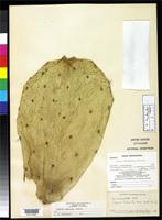 Holotype of Opuntia undulata Griffiths, D. 1912 [family CACTACEAE]