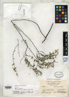 Isotype of Hedeoma patrinum Stewart, W.S. 1939 [family LAMIACEAE]