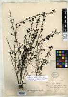 Holotype of Afzelia stricta Pennell, F.W. 1926 [family SCROPHULARIACEAE]