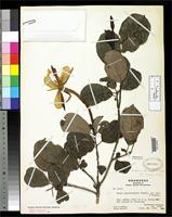 Isotype of Hauya glauca Standley, P.C. & Williams, L.O. 1950 [family ONAGRACEAE]