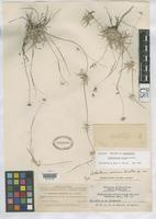 Holotype of Cathestecum varium Swallen, J.R. 1937 [family POACEAE]