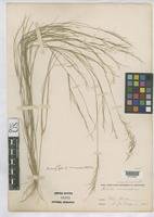 Isotype of Aristida ramosissima var. uniaristata Gray, A. 1867 [family POACEAE]