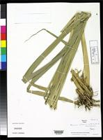 Holotype of Panicum urticans Smith, L.B. & Wasshausen, D.C. 1978 [family POACEAE]