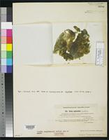 Isotype of Nostoc amplissimum Setchell, W.A. 1899. [family NOSTOCACEAE]