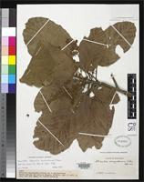 Holotype of Sterculia venezuelensis Pittier, H. 1938 [family STERCULIACEAE]