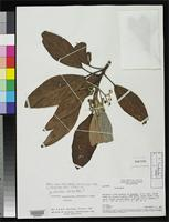Isotype of Coussapoa arachnoidae Akkermans, R.W.A.P. & Berg, C.C. 1982 [family MORACEAE]
