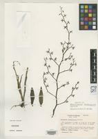 Holotype of Neowilliamsia tenuisulcata Dressler, R.L. 1981 [family ORCHIDACEAE]