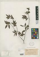 Isotype of Hottea miragoanae Urban, I. 1929 [family MYRTACEAE]