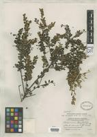 Isotype of Vaccinium bartlettii Merrill, E.D. 1934 [family ERICACEAE]