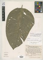 Isotype of Philodendron inaequilaterum subsp. zulianum Bunting, G.S. 1975 [family ARACEAE]