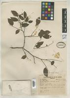 Holotype of Copaifera duckei Dwyer, J.D. 1951 [family FABACEAE]