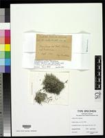 Isolectotype of Cladonia mitis Sandstede, H. 1918 [family CLADONIACEAE]