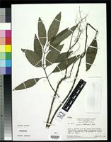 Isotype of Justicia wilhelminensis Wasshausen, D.C. 2003 [family ACANTHACEAE]