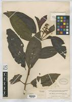 Type of Miconia oinochrophylla Donnell Smith, J. 1905 [family MELASTOMATACEAE]