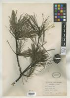 Isoneotype of Pinus glabra Walter, T. 1788 [family PINACEAE]
