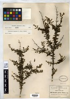 Isotype of Berendtia spinulosa Watson, S. 1890 [family SCROPHULARIACEAE]