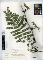 Holotype of Acacia allenii Janzen, D. H. 1974 [family FABACEAE]