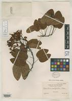 Isotype of Bauhinia subglabra Merrill, E.D. 1908 [family FABACEAE]