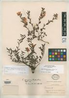 Isotype of Chamaecrista cruziana Britton, N.L. & Rose, J.N. 1930 [family FABACEAE]