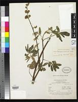 Holotype of Lupinus hazenianus Smith, C.P. 1944 [family FABACEAE]