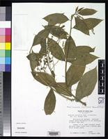 Isotype of Monnina parasylvatica Taylor, C.M. 1985 [family POLYGALACEAE]