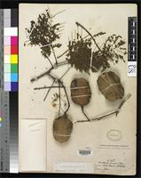Isotype of Jacaranda caucana Pittier, H. 1917 [family BIGNONIACEAE]