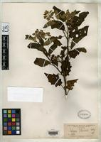 Isotype of Solanum villaricense Morong, T. 1892 [family SOLANACEAE]