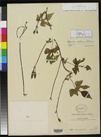 Isotype of Ipomoea collina House, H.D. 1907 [family CONVOLVULACEAE]
