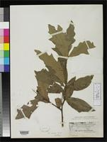 Isotype of Quercus ashei Trelease, W. 1924 [family FAGACEAE]