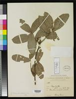 Isotype of Quercus chiquihuitillonis Trelease, W. 1924 [family FAGACEAE]