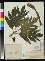 Isotype of Artocarpus nigrescens Elmer, A.D.E. 1909 [family MORACEAE]