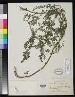 Holotype of Pilea foliosa Killip, E.P. 1936 [family URTICACEAE]