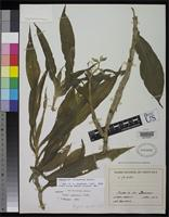 Isotype of Chysis costaricensis Schlechter, F.R.R. 1923 [family ORCHIDACEAE]